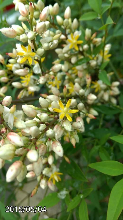 不知名的 黃色灌木 小花